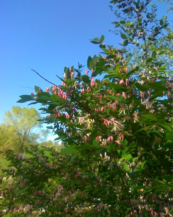 Pink blossoms on a bush, Southern Ontario