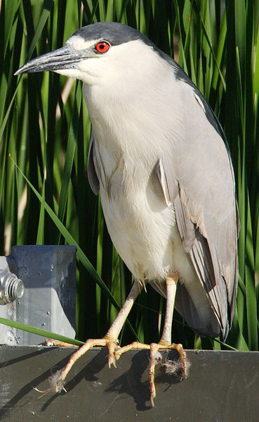 birds, black-crowned night heron, perching