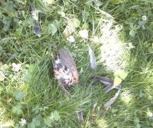 remains of fledgling robin