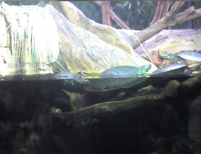 shedd-11-turtle-med