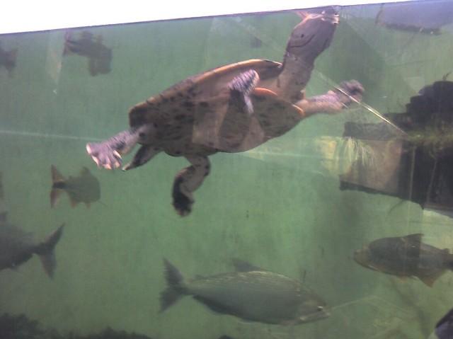 shedd-13-large-turtle-med