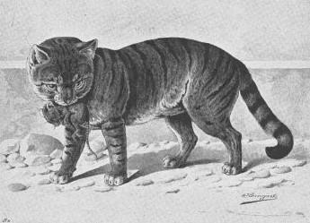 Cyprus Cat, 1856