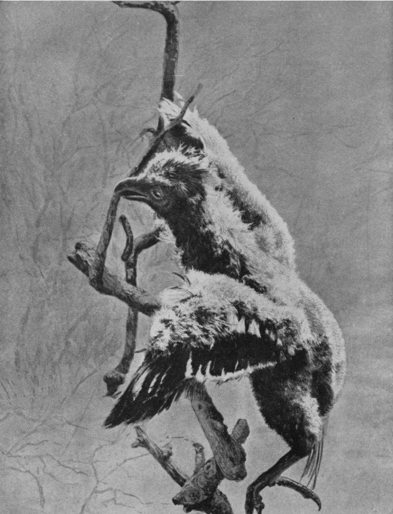 Hoatzin chick climbing