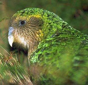 The kakapo, a flightless parrot that eats grass