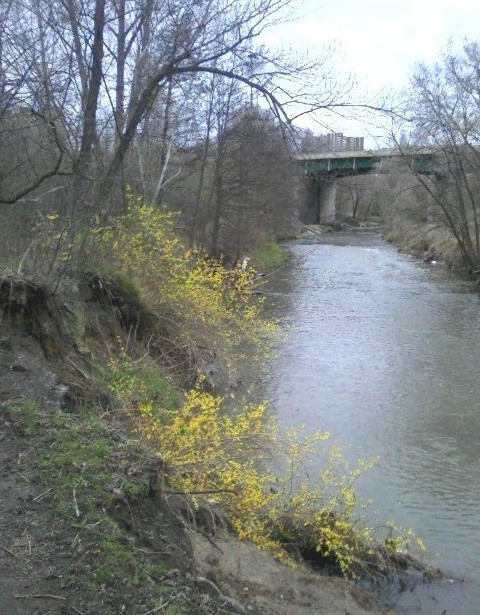 2009-04-26-don-river-n-of-forks-forsythia-1-med