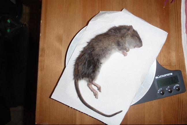 rat-2009-09-05-med