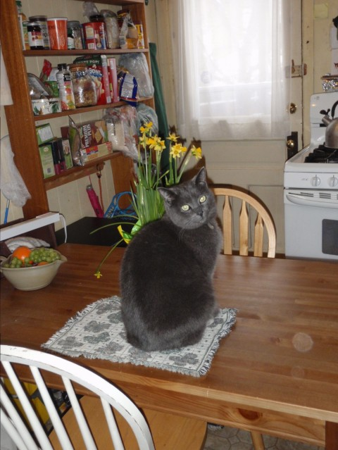 A cat sits on a kitchen table, beside a bowl of fruit, and looks at the camera.