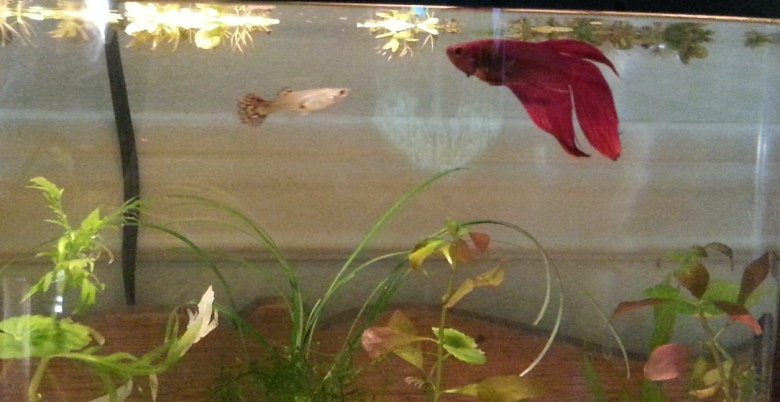 aquarium with a red betta, a female guppy,and plants