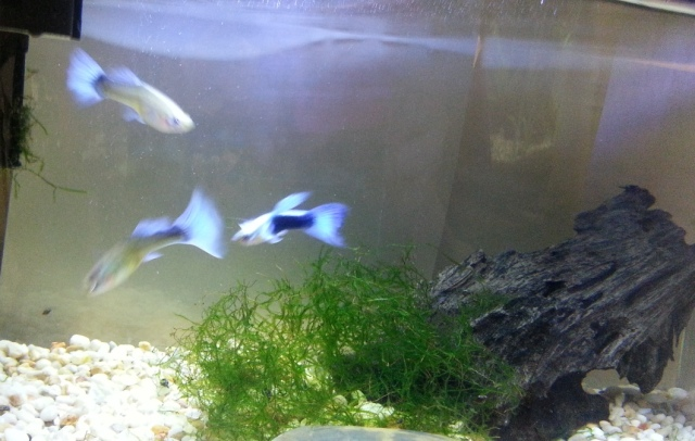 three small fish, guppies, with blue tails