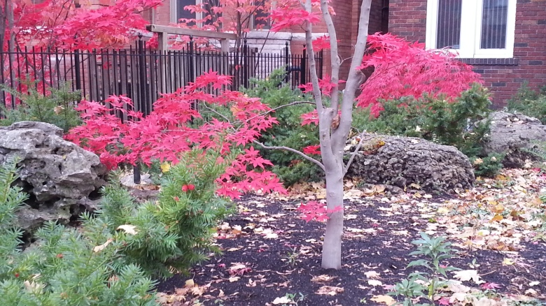 A tree with red leaves in a garden
