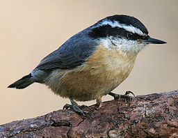 256px-Red-breasted-Nuthatch-3c