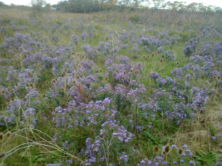 a field of purple asters