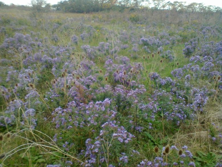 a field of purple asters