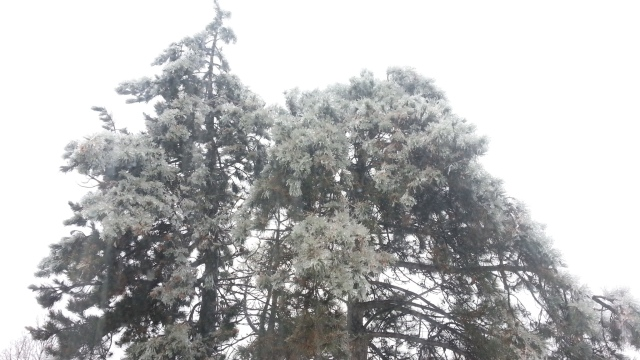pine trees with branches frosted by ice and bending down