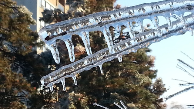 twigs are heavily coated with ice and short icicles hang from them
