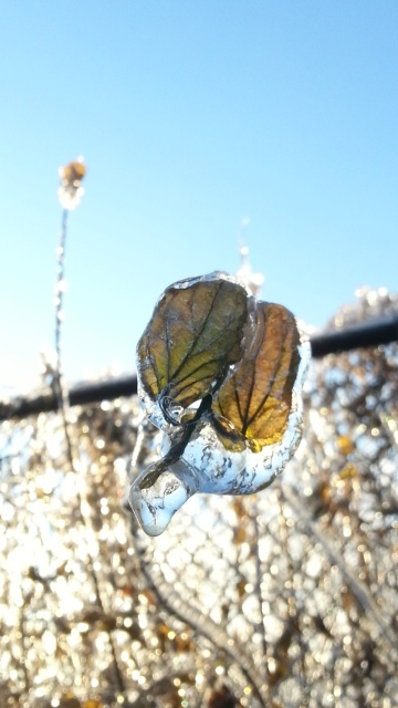 two leaves and their twig are coated with ice