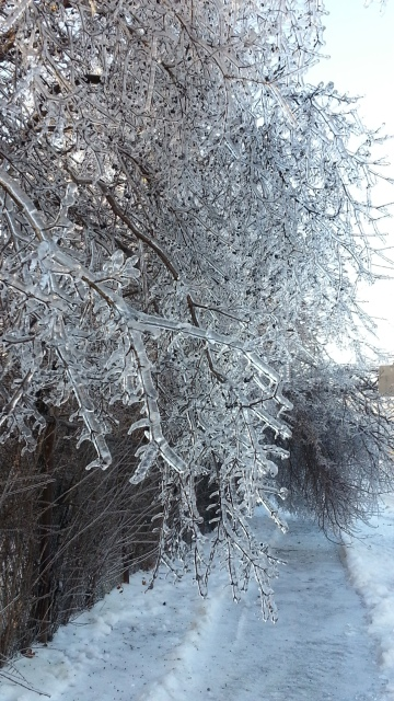 ice coats the branches of a bush hanging over a sidewalk