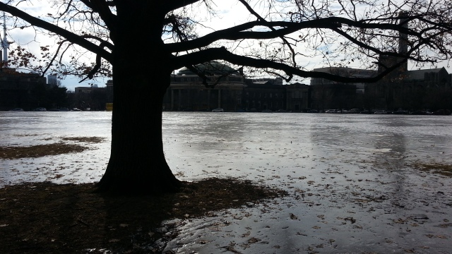 A sheet of ice covers the grass; leaves are frozen into it from a nearby oak tree. In the distance are large buildings