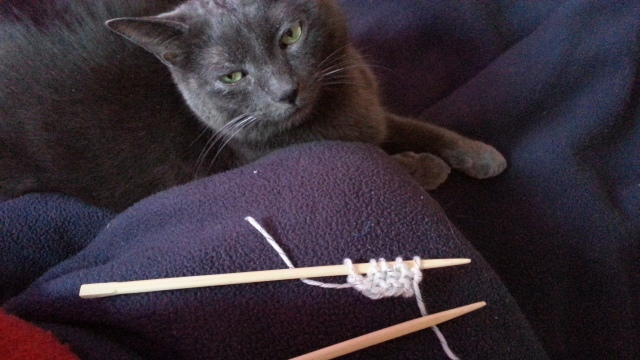 a grey cat looks at a small amount of knitting on chopsticks