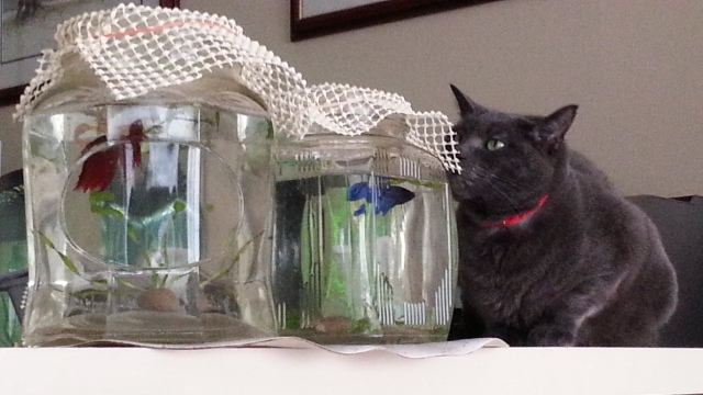 A red fish and a blue fish in separate jars are watched by a grey cat