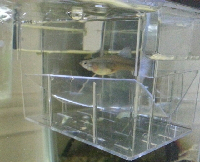 A small fish floats in a clear plastic box separated into upper and lower areas by a V-shaped divider