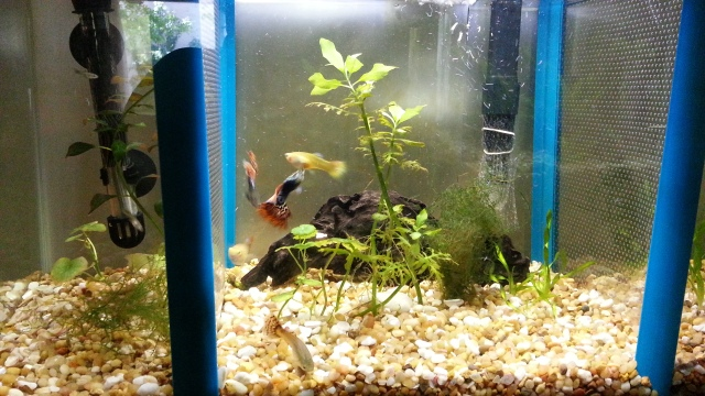A divided aquarium with a piece of driftwood in the centre. It has light brown gravel and delicate plants