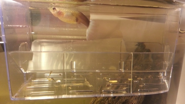 a female guppy and babies, separated by clear plastic barriers